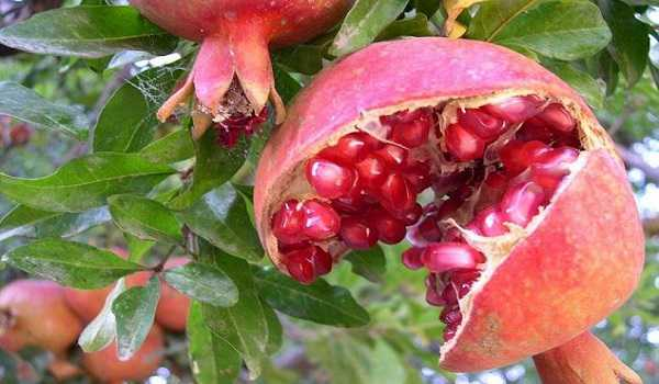 world pomegranate exports
