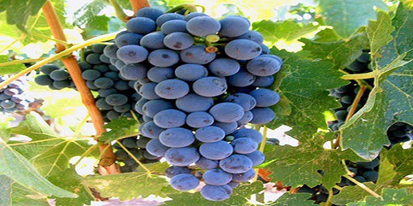grapes on sale today