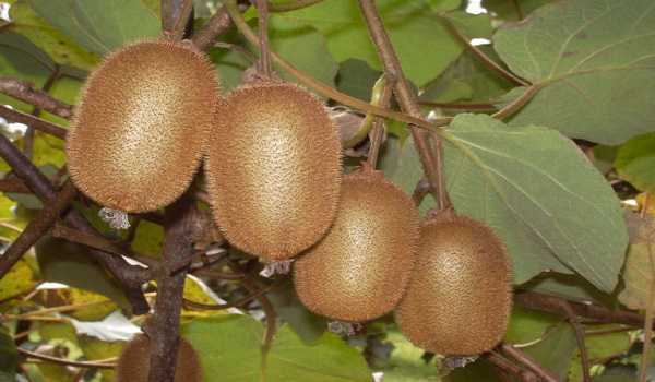 Kiwi fruit for sale near me