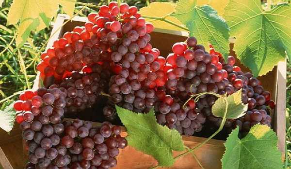 grape export procedure