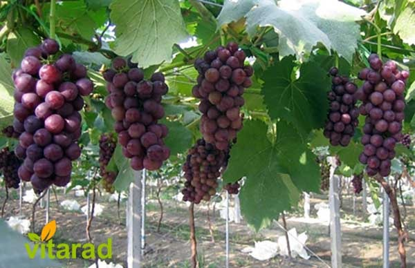 Rish Baba grape