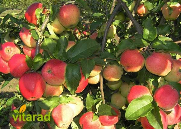 Iranian apple fruit exporters