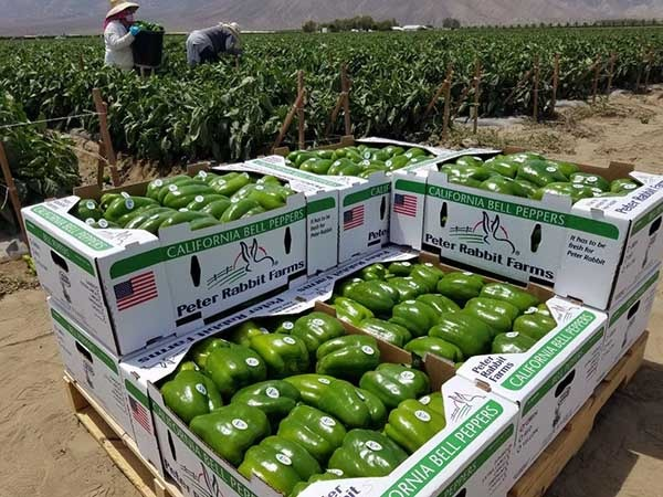 Green bell pepper sale