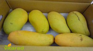 Export Indian mango