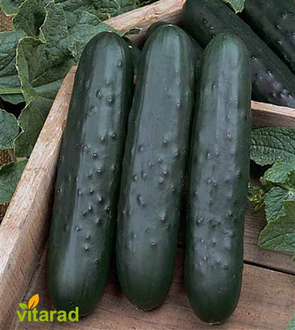 Persian cucumber price