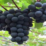 Red grapes price
