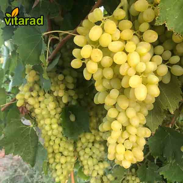 Green grape on sale