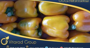 iranian yellow bell pepper price
