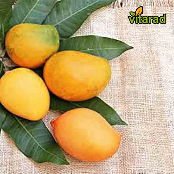 Mango export from India to Middle East - vitarad trading