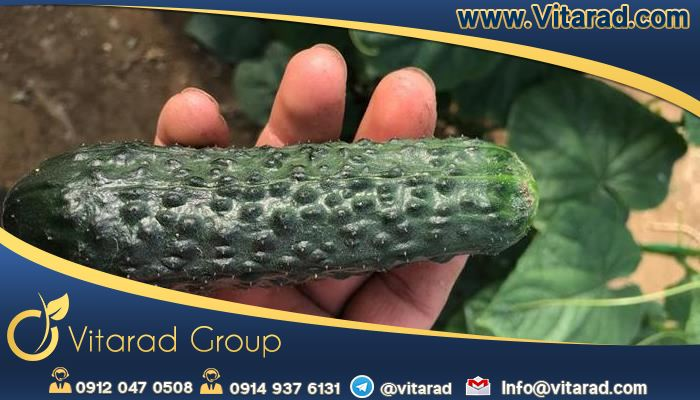 Advantages for cucumber export from Iran to Iraq