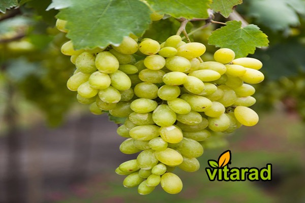 Grapes for export