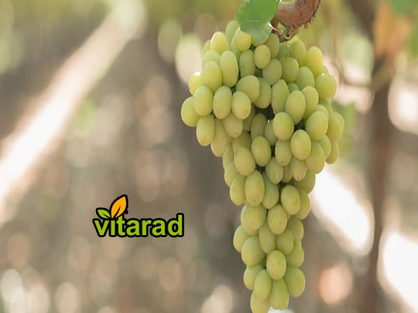 Urmia grapes