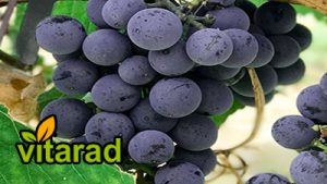 Fresh grape exports