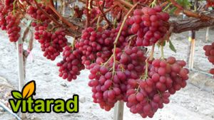Red seedless grapes price