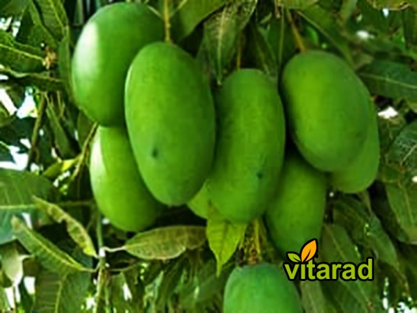 Green mango fruit