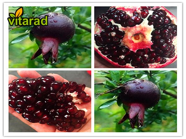 pomegranate to export