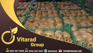 wholesale Iranian Hayward green kiwifruit