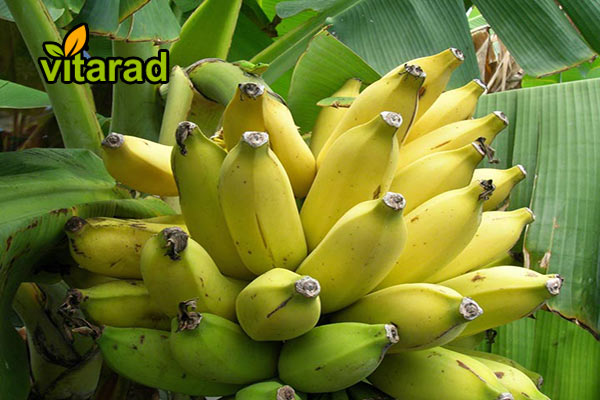 Banana export from Sri Lanka