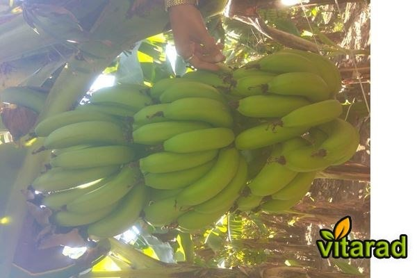 Export fresh green banana