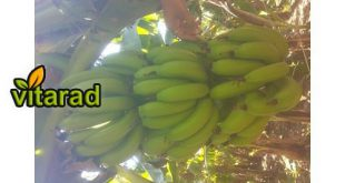 Indian green banana prices