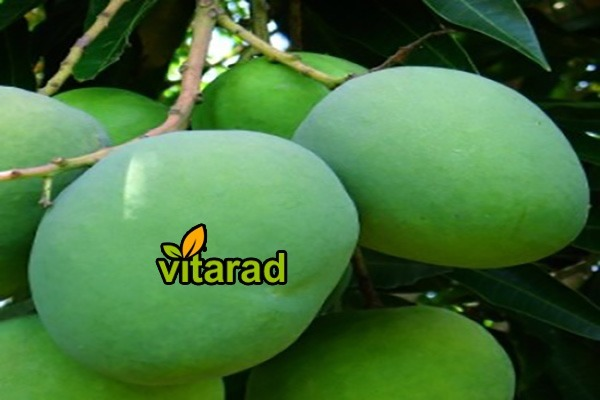 Indian mango export market
