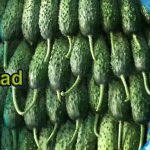 Iranian cucumber purchase price