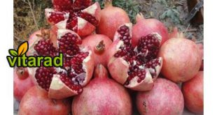 Sale of red pomegranate Saveh