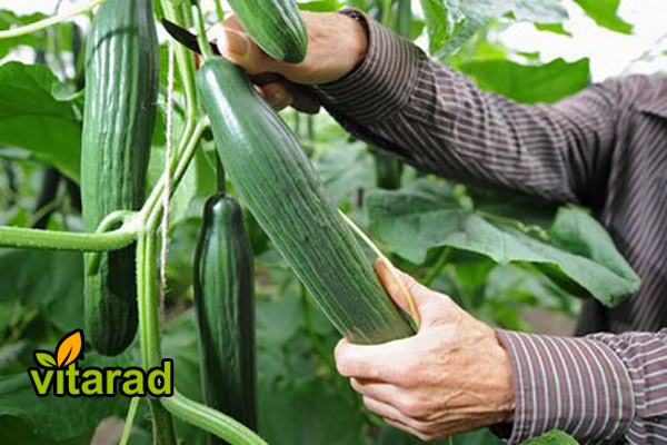 Wholesale prices cucumber