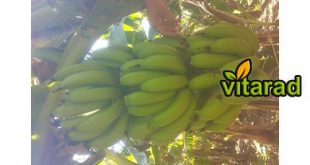 banana purchase price