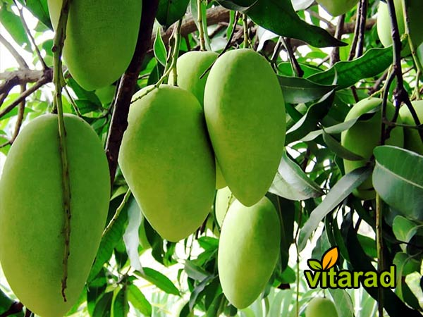 Export quality Indian mango