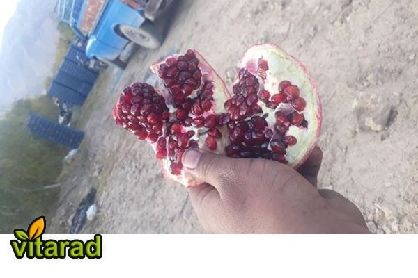 Export pomegranate fresh