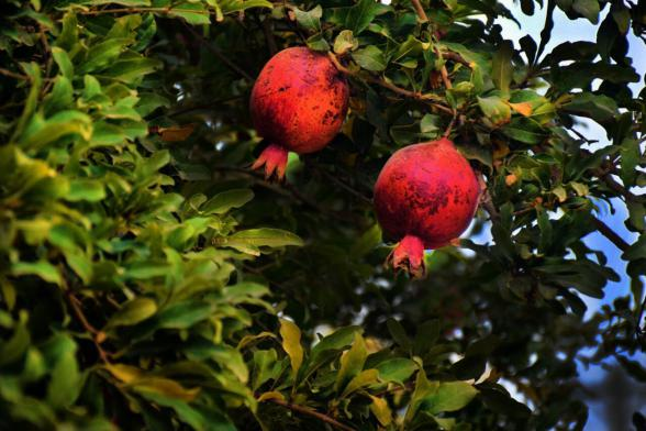 where to buy pomegranate fruit | 3 Ways to Reduce your Costs