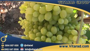 Sale seedless grape to neighbor countries