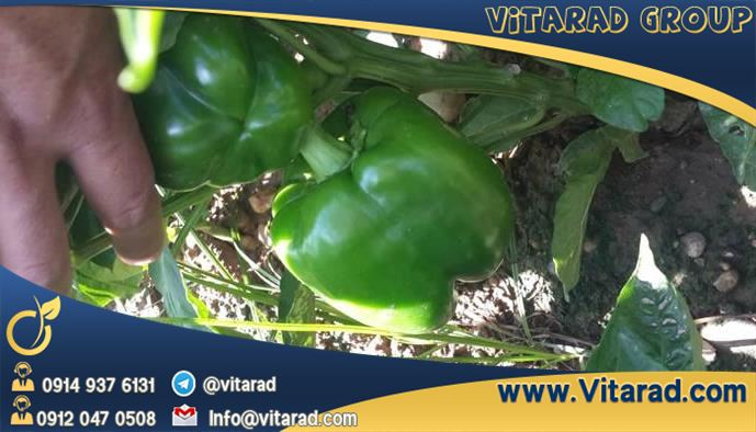 The price of Isfahan bell pepper