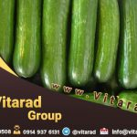 Cucumber wholesale price FOR EXPORT